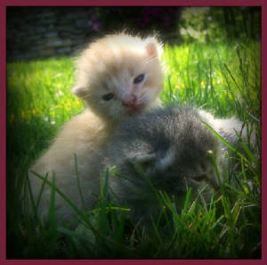 Kittens ~ FREE TO GOOD HOME (once weaned)
